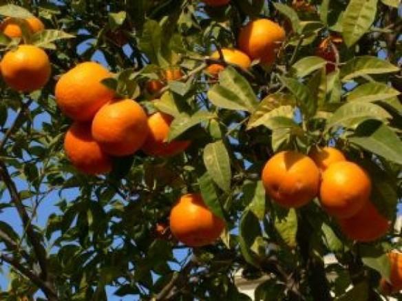 oranges-at-tree_2698871