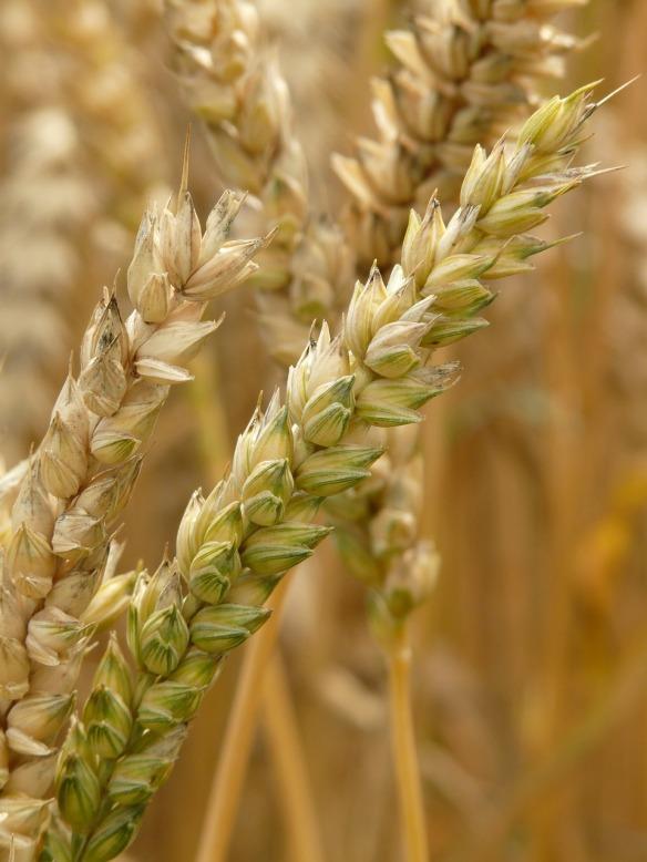 grano monococco bio