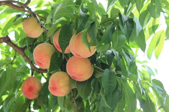 frutta-pesche