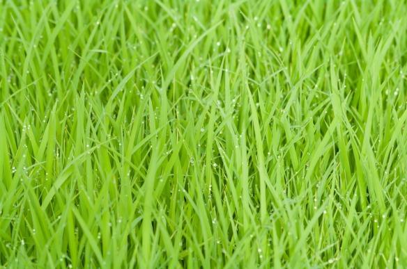 rice-field-387715_1920